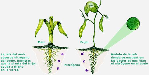 Ciencias naturales quinto grado for Sembrar maiz y frijol juntos