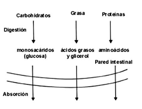 ruta anabolica catabolica y anfibolica