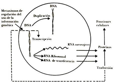 0cc3650a10c Esquema que muestra cómo se sintetizan las proteínas, y otras capacidades,  como la duplicación del DNA. El esquema y la nomenclatura comparan la  síntesis de ...